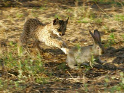 Los linces dependen de los conejos para sobrevivir.