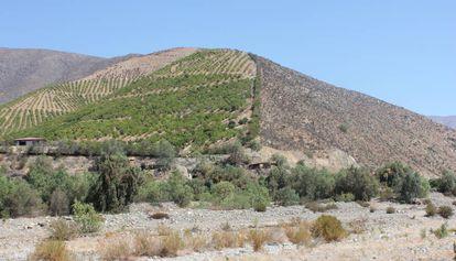 Las plantaciones de aguacate dedicadas a la exportación ocupan los cerros de Petorca y han secado el llano de la cuenca del río.