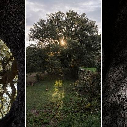 Vista del amanecer a través de las ramas de la Carrasca Milenaria de Lecina, Huesca.