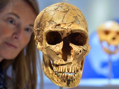 La educadora  Sabine Liener-Kraft observa el cráneo de un neandertal en el Arqueológico Museo Estatal de Chemnitz, Alemania.