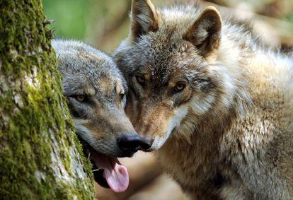 Dos ejemplares jóvenes de lobo se esconden tras un árbol en el parque Doerverden (Alemania).