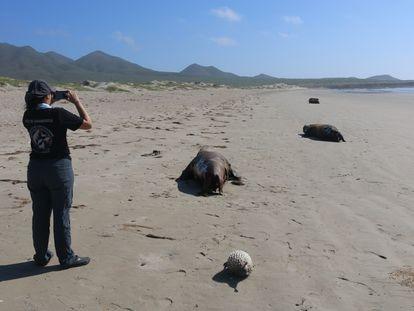 La playa de San Lázaro, en Baja California, con cadáveres de lobo marino.