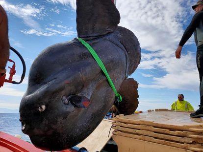 Ejemplar de pez luna de casi tres metros capturado en Ceuta.