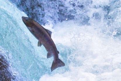 Un ejemplar de salmón en un río.