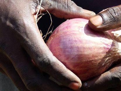 Un joven recoge una cebolla en una granja agropastoral de Senegal.