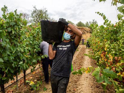 Temporeros trabajando en la vendimia en la localidad de Lapuebla de Labarca, en la Rioja Alavesa.
