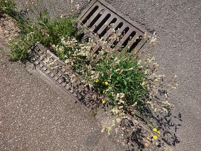 Las hierbas conocidas comúnmente como collejas (Silene vulgaris), almirón (Crepis capillaris) y reseda amarilla (Reseda lutea) en una calle de Francia.