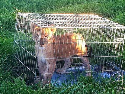 El cachorro de león abandonado en Holanda, en una imágen publicada en Twitter por la policía.