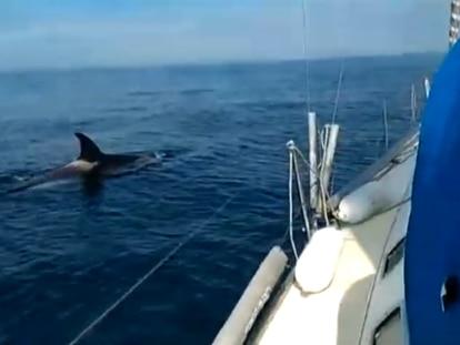 Fotograma de un vídeo que capta una de las orcas cerca de Galicia.