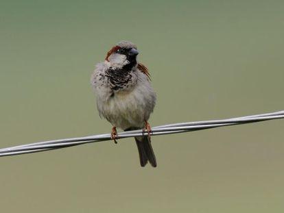 La población de gorrión común se ha reducido en un 50%. T. Belka/ Birdphoto.eu