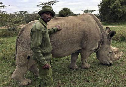 Sudán, el último rinoceronte blanco del norte que queda en el mundo, en una foto el pasado julio con un guardia de seguridad en la reserva natural keniana de Ol Pejeta.