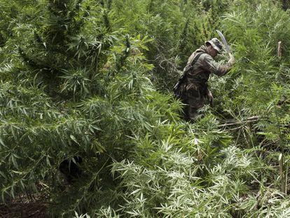 Otro agente cortando a mano plantas de cannabis de más de dos metros en 2014. Mientras que en casi toda América avanza la regulación del cannabis, en Paraguay, el mayor productor del continente junto a México, es todavía un tabú.