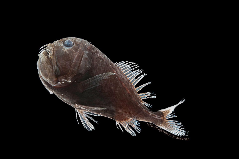 'Anoplogaster cornuta', un pez que habita entre los 500 y los 5.000 metros de profundidad.