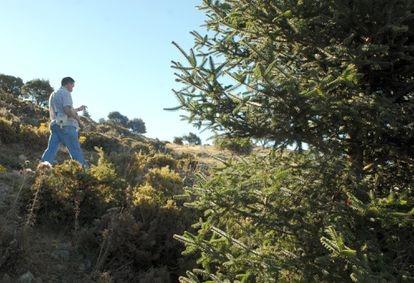 Ejemplar de pinsapo, abeto singular que crece en las sierras de Málaga y Cádiz.