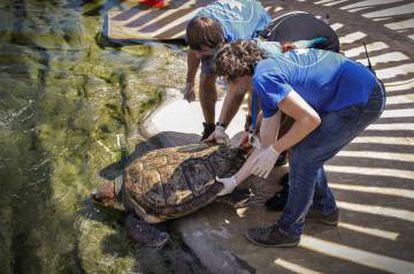Los veterinarios devuelven a Rosita a la piscina del Oceanogràfic.