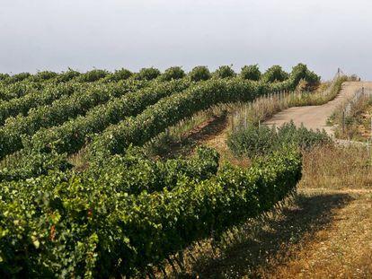 Uno de los numerosos viñedos que se pueden ver a lo largo de Mallorca.