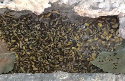 Plaga de larvas de galeruca en La Elipa en 2014.