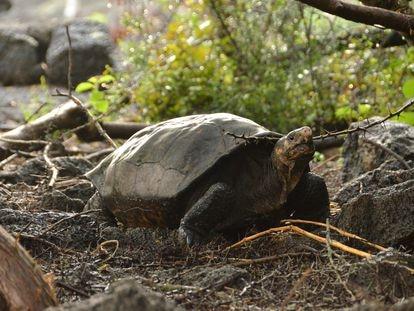 La tortuga Fernanda, hallada en 2019 en una zona aislada de la isla Fernandina, en Galápagos.
