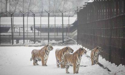 Tigres en un parque zoológico en la provincia china de Heilongjiang.