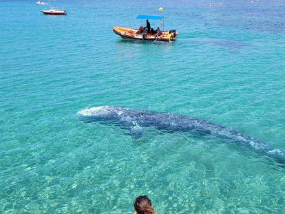 La ballena gris en la zona de Santa Ponsa (Mallorca).