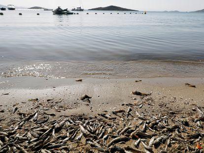 Cientos de peces muertos esta semana en el Mar Menor.