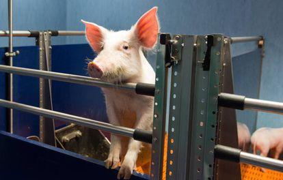Un cerdo en el Hospital Nacional de Parapléjicos de Toledo.