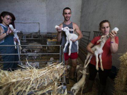 Mayte Ortiz, Víctor Peñalosa y Carmen Ceresuela dan biberones a los corderos en la granja en la que hacen prácticas en Cubel (Zaragoza).