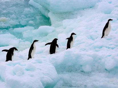 Un grupo de pingüinos caminan por el Antártico.
