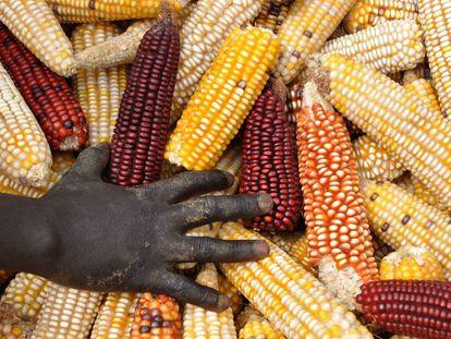 Distintas variedades de maíz en Sudán.