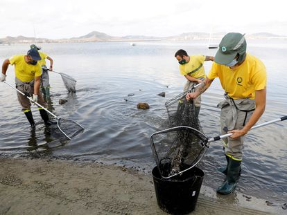 Operarios retiran hoy peces muertos en el Mar Menor (Murcia).