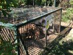 Imagen de una jaula con jabalíes capturados en la Casa de Campo.  EUROPA PRESS 15/06/2020