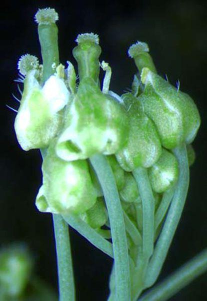 Planta mutante con un gen defectuoso que impide que se abran las flores.