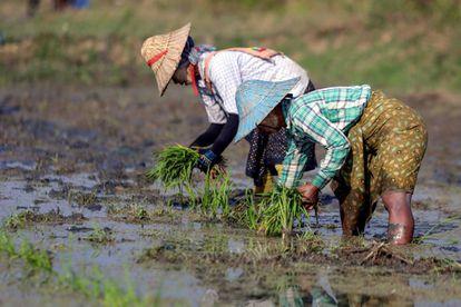 Agricultores siembran arroz antes de la temporada de verano en Naypyitaw, Birmania.