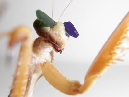 Los científicos colocaron las lentes a las mantis con cera de abeja y les mostraron simulaciones de insectos que se movían alrededor de una pantalla de ordenador.