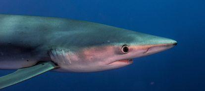 Un tiburón azul, en Las Azores (Portugal) en 2018.