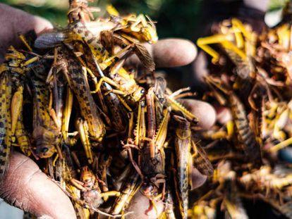 Un hombre muestra decenas de langostas en su mano, este 20 de febrero, en Nakapritprit, Uganda.