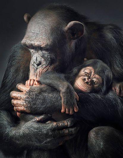 Chimpancé. (Pan troglodytes)