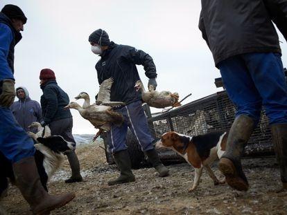 Los trabajadores de una granja afectada por el virus H5N8 transportan patos para su sacrificio, el 13 de enero, en Mugron (Francia).