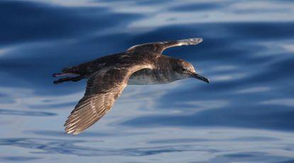 Ejemplar de pardela balear, especie en peligro crítico.
