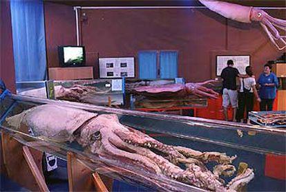 Calamares gigantes en el Aula del Mar del Cepesma, en Luarca.