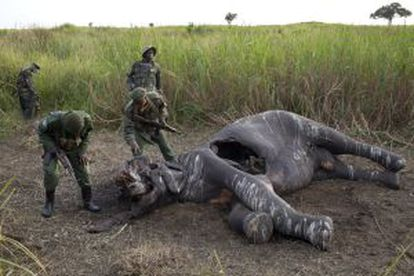 Un grupo de guardabosques hallan a un elefante abatido