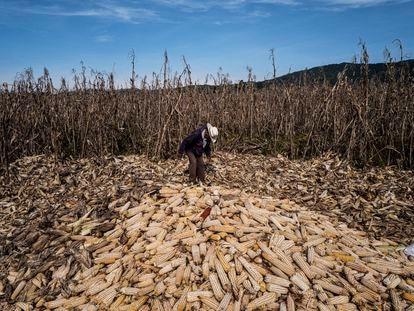 Un campesino recoge el maíz de su parcela en el municipio de Jala, Nayarit.