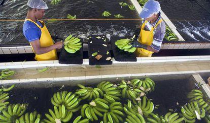 Proceso de lavado en una plantación bananera. La agricultura latinoamericana debería reducir su huella ecológica corrigiendo algunos de sus sistemas de producción que entre otros aspectos utilizan un exceso de agua.