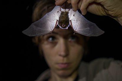 British zoologist Alice Hughes examines a bat.