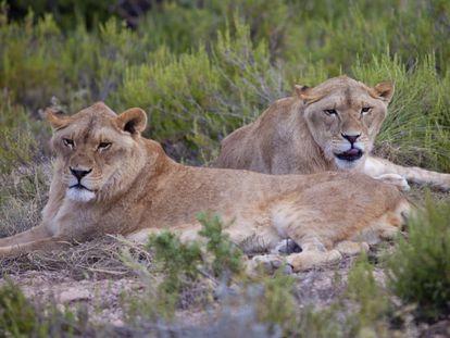 Los leones 'Vigo' y 'Kumba', en el centro de rescate de Villena.