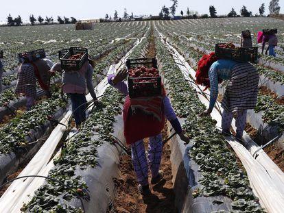 Agricultoras recogían fresas para la exportación en Moulay Bousselham, a 140 kilómetros al norte de Rabat, en 2014.
