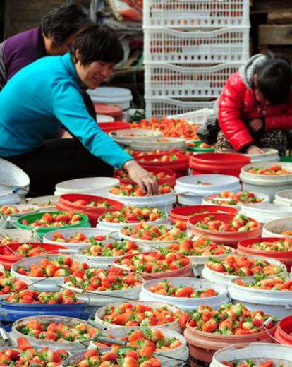 Una explotación de fresas en Matou.