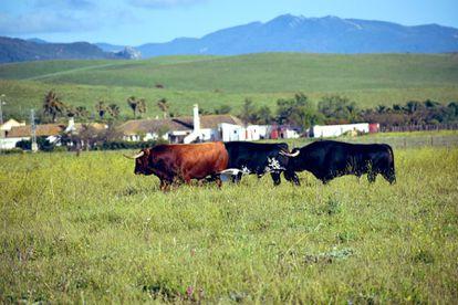Toros de La Palmosilla, en la dehesa gaditana.