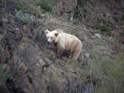 Un oso pardo en la cordillera Cantábrica.