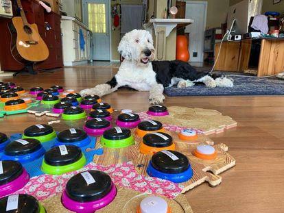 La cuenta de TikTok en la que el perro Bunny forma frases y peticiones apretando botones con palabras tiene 5,3 millones de seguidores.
